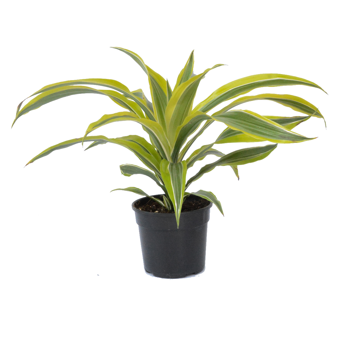 Dracaena Lemon Lime Tips 14cm